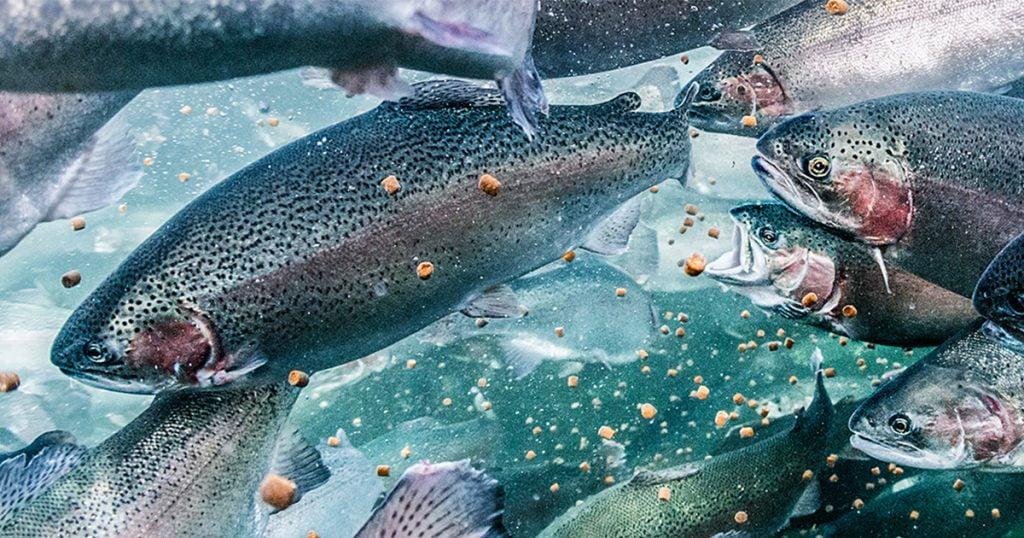 Kalavapriikki ja Benellakala yhteistyöhön